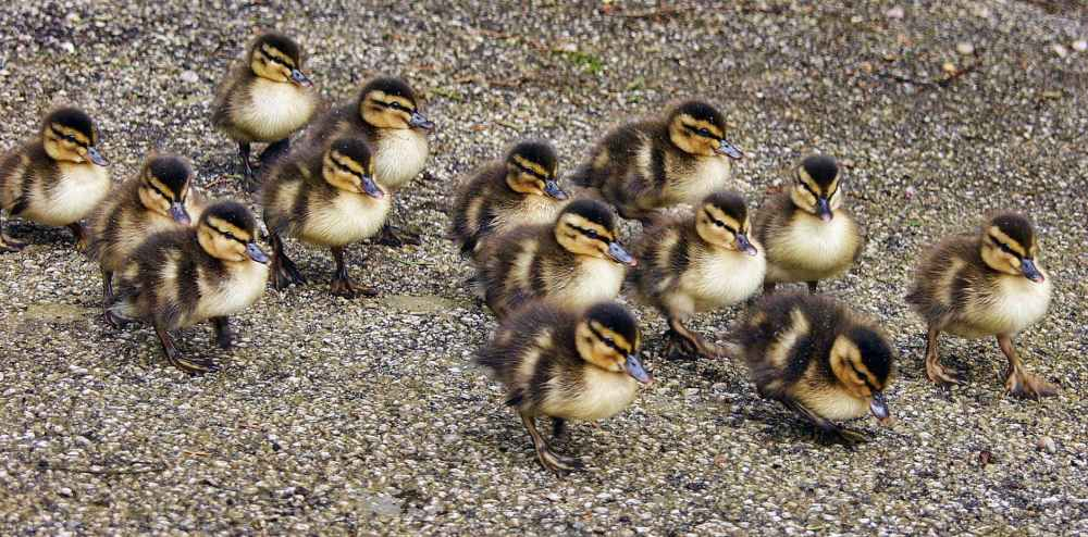 animals beak close up ducklings